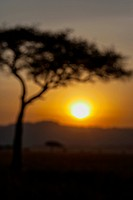 Acacia trees at sunset in the African savanna