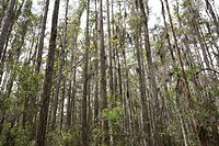 bald cypress tree swamp orlando florida usa