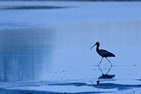 Glossy Ibis in a Virginia tidal flat