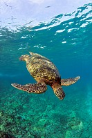A green sea turtle diving in clear water