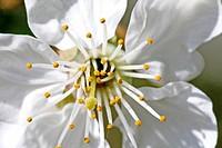 Apple Blossom / Apfelblüte