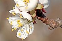 Apricot Blossom / Aprikosenblüte
