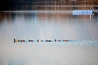 A duck family swimming together