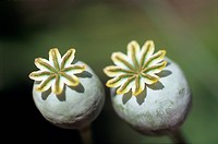 Two light green poppy capsules