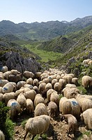 Sheepherd in the Asturias Mountain, Onis Valley, Spain