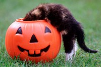 Kitten Peeking Into Trick_Or_Treat Pumpkin