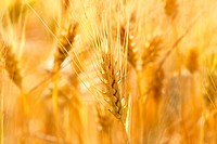 gold grains in summer time