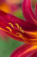 Daylily (Hemerocallis), red