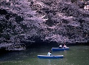 Prunus cultivar, Cherry, Pink subject.