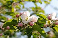 Malus domestica cultivar, Apple, Pink subject.