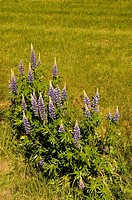 Lupinus polyphyllus, Lupin, Purple subject