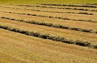 Hay Field, Meadow, Green subject.