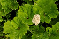 Petasites hybridus, Butterbur, White subject, Green background.