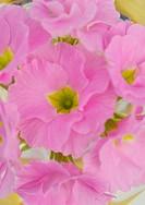 Primula cultivar, Primula, Primrose, Pink subject.
