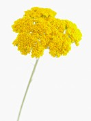 Achillea filipendulina ´Gold Plate´, Yarrow, Yellow subject, White background.