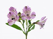 Alstroemeria cultivar, Alstroemeria, Peruvian lily, Purple subject, White background.