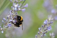 Bumblebee perching on lavender flowers
