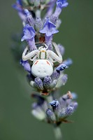 White crab spider on lavender flowers