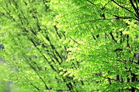 Trees and green leaves
