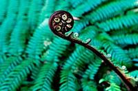 Dicksonia Squarrosa New Zealand Fern