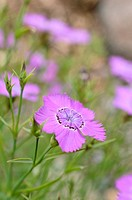 Rainbow pink Dianthus chinensis