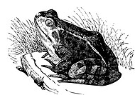 Water frog old illustration