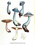 Agaricus cyanites or cortinarius. All mushrooms from genus Agaricus are edible. From the Batavian Flora or picture and description of Netherlands cult...