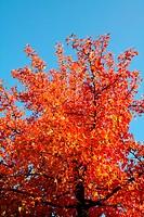 Abmberbaum mit herbstlich gefärbten Blättern und Stachelfrüchten