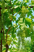 Bunch of grapes on the vine.