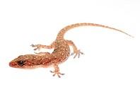 Chinese Oriental leaftoed gecko