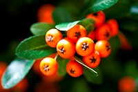 Sea buckthorn berries Hippophae rhamnoides.