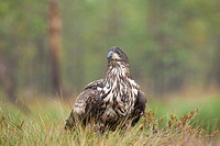 White-tail Eagle Haliaeetus albicilla  Estonia