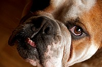 close-up of English bulldog snout, looking into camera, view from above