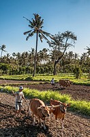 Ploughing fields near Amed in Eastern Bali, indonesia