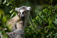 Ring tailed lemur Lemur catta, Madagascar