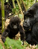 Africa, Rwanda, Volcanoes National Park, Mountain Gorilla, Gorilla gorilla beringei, Agashya Group 13, endangered species, adult with young