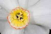 narcissus angustifolius