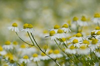A close view of chamomile flowers.