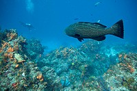 Diving a Caribbean reef with a large grouper.