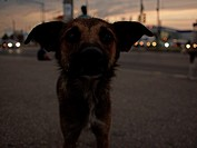 Stray city dog at dusk, Romania