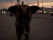 Stray city dog at dusk, Romania