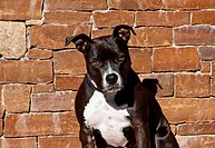 Portrait of an American Staffordshire Terrier sitting against a rock wall