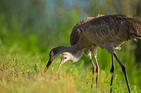 Sandhill crane feeding chick, Grus canadensis, Viera wetlands, Florida