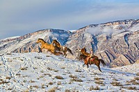 North America, USA, Wyoming, Shell, Big Horn Mountains: Horse Drive Through the Snow in the Big Horn Mountains. MR