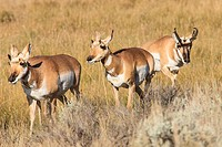 Prong Horn antelopes. Yellowstone National Park, Wyoming, US