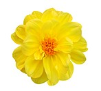 Dahlia Isolated on White Background _ clipping path included