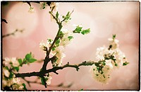 Sakura flowers  Abstract asian grungy backgrounds for your design