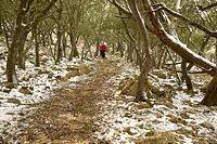 oaks, Valldemossa, Long Distance Path GR 221, Sierra de Tramuntana Mallorca Baleares Spain