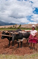 Wonderful farming woman on farm with oxen and traditional dress and smiling happy workers in Chinchero Peru