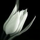black and white still life profile of beautiful opening tulip